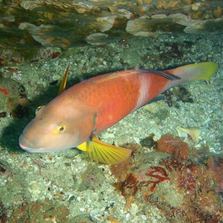 Blue-throated wrasse