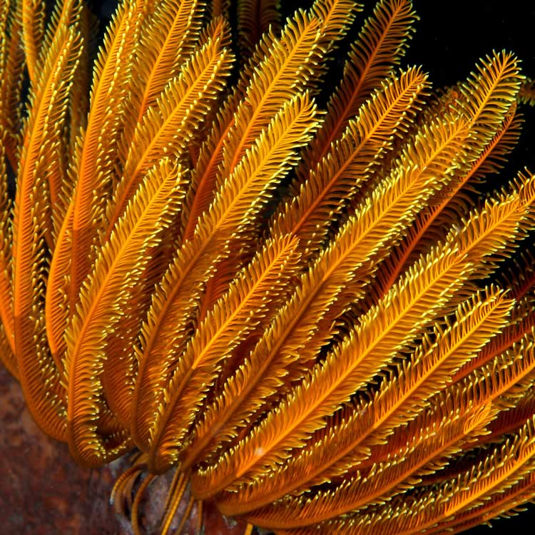 Orange feather star